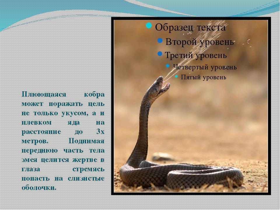 Плюющаяся кобра может поражать цель не только укусом, а и плевком яда на рас...