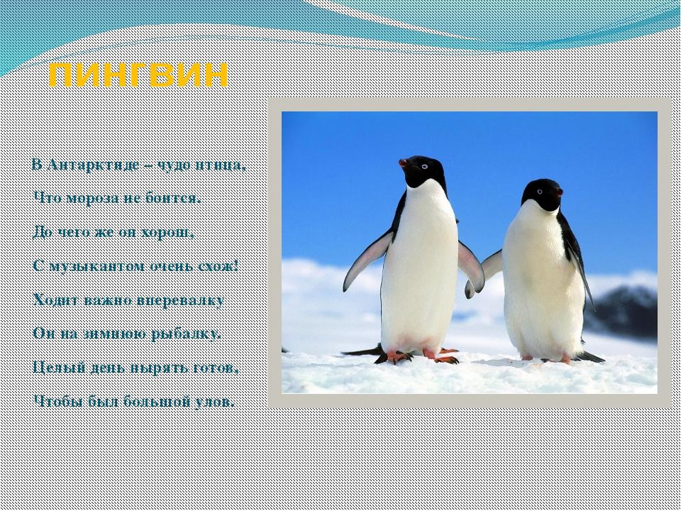 пингвин В Антарктиде – чудо птица, Что мороза не боится. До чего же он хорош,...