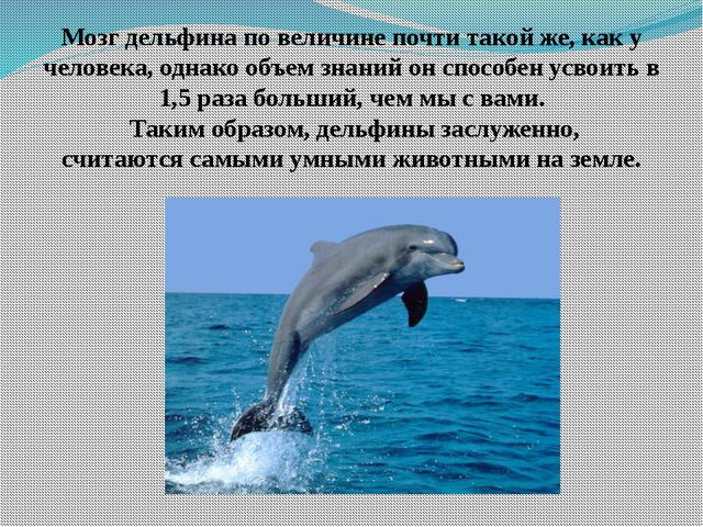 Мозг дельфина по величине почти такой же, как у человека, однако объем знаний...