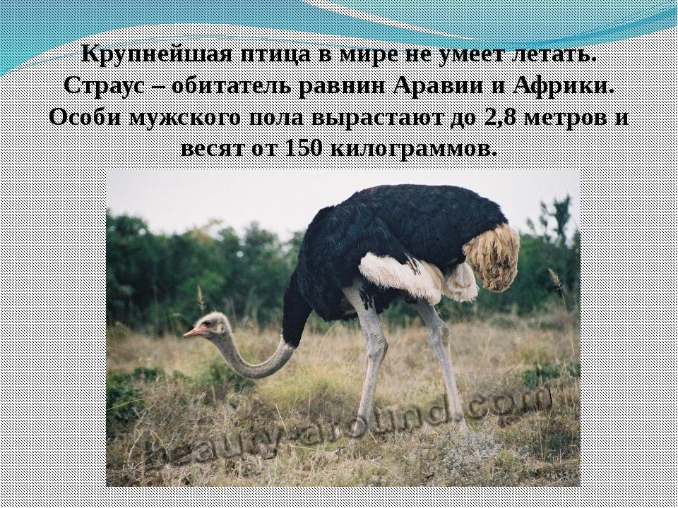 Крупнейшая птица в мире не умеет летать. Страус – обитатель равнин Аравии и А...
