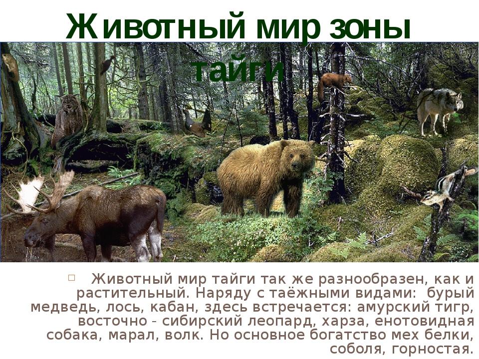 РОСОМАХА В таёжном лесу благоприятные условия для жизни животных. Нигде в мир...
