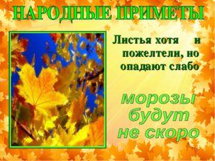 Листья хотя и пожелтели, но опадают слабо