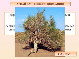 УЗНАЙ РАСТЕНИЕ ПО ОПИСАНИЮ Дерево пустыни – ствол крепкий, как кость, и тяжёл