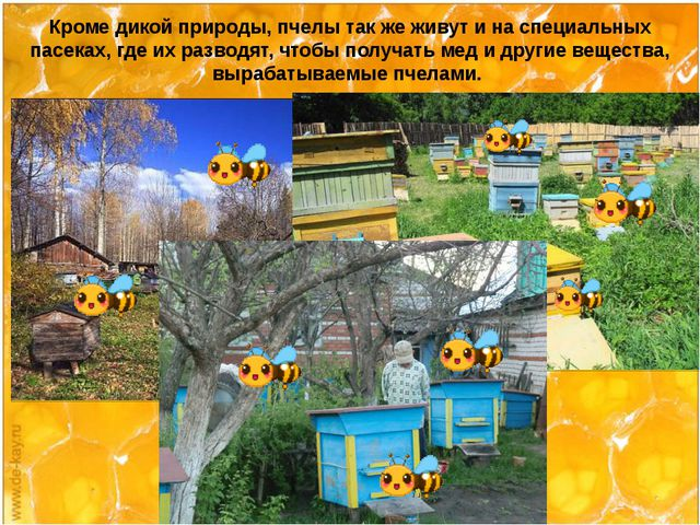 Кроме дикой природы, пчелы так же живут и на специальных пасеках, где их раз...