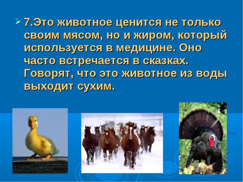 7.Это животное ценится не только своим мясом, но и жиром, который использует...