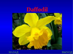 НАЗАД ВЫХОД Daffodil