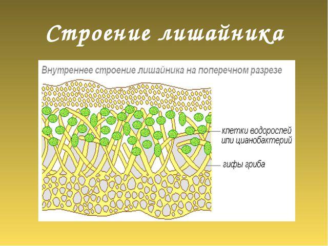 Строение лишайника Клетки водоросли Гифы гриба