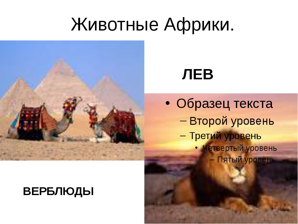 Животные Африки. ЛЕВ ВЕРБЛЮДЫ