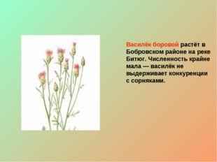 Василёк боровой растёт в Бобровском районе на реке Битюг. Численность крайне