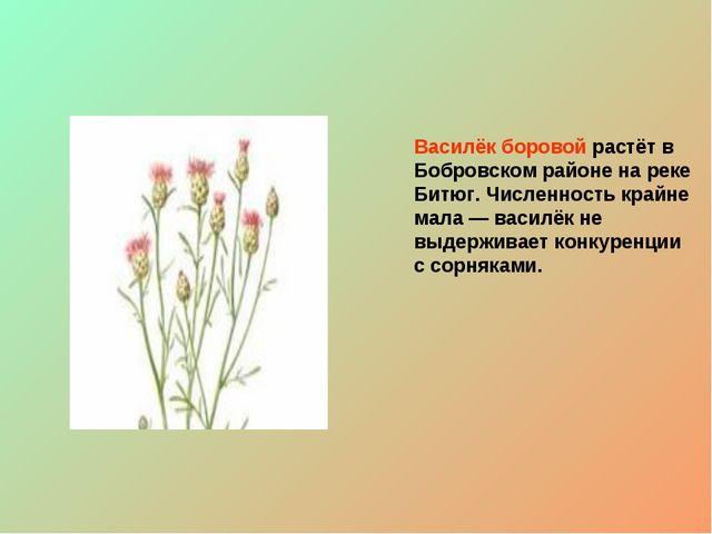 Василёк боровой растёт в Бобровском районе на реке Битюг. Численность крайне...