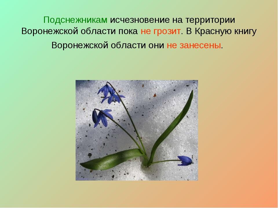 Подснежникам исчезновение на территории Воронежской области пока не грозит....