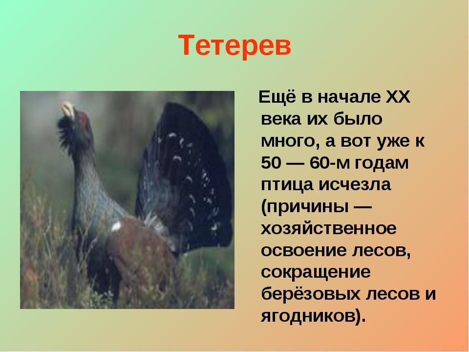 Тетерев Ещё в начале XX века их было много, а вот уже к 50 — 60-м годам птица...