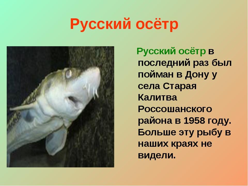 Русский осётр Русский осётр в последний раз был пойман в Дону у села Старая К...