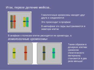 Итак, первое деление мейоза.. В анафазе к полюсам клетки расходятся не хромат