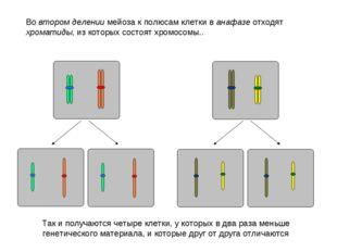 Во втором делении мейоза к полюсам клетки в анафазе отходят хроматиды, из кот