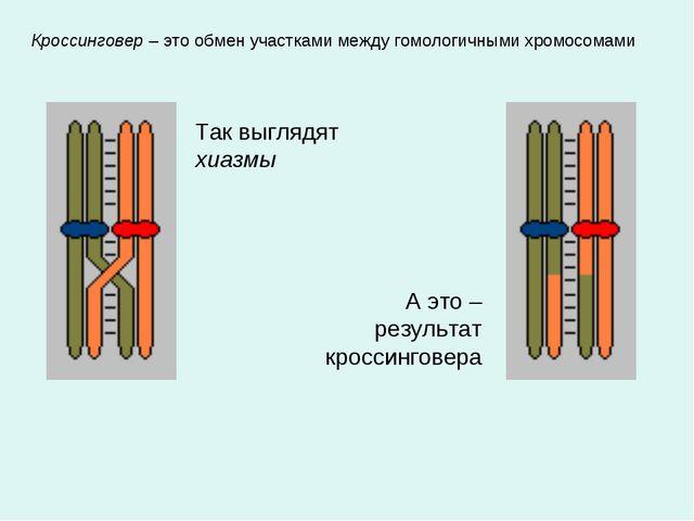 Кроссинговер – это обмен участками между гомологичными хромосомами Так выгляд...