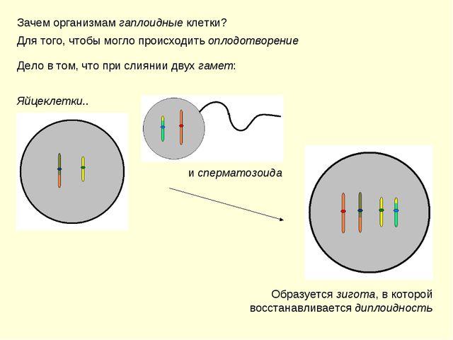 Зачем организмам гаплоидные клетки? Для того, чтобы могло происходить оплодот...