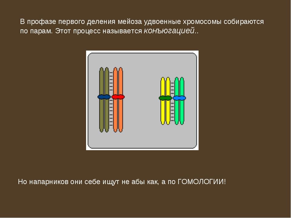 В профазе первого деления мейоза удвоенные хромосомы собираются по парам. Это...