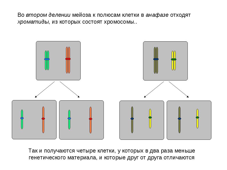 Во втором делении мейоза к полюсам клетки в анафазе отходят хроматиды, из кот...