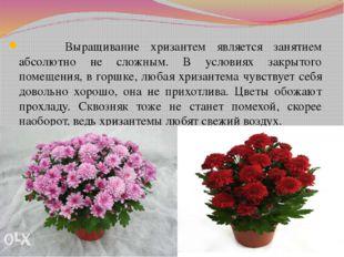 Выращивание хризантем является занятием абсолютно не сложным. В условиях зак