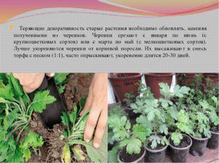Теряющие декоративность старые растения необходимо обновлять, заменяя получе