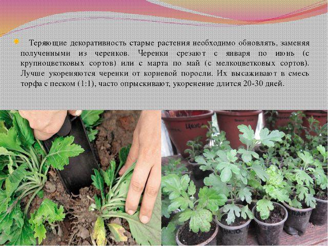 Теряющие декоративность старые растения необходимо обновлять, заменяя получе...