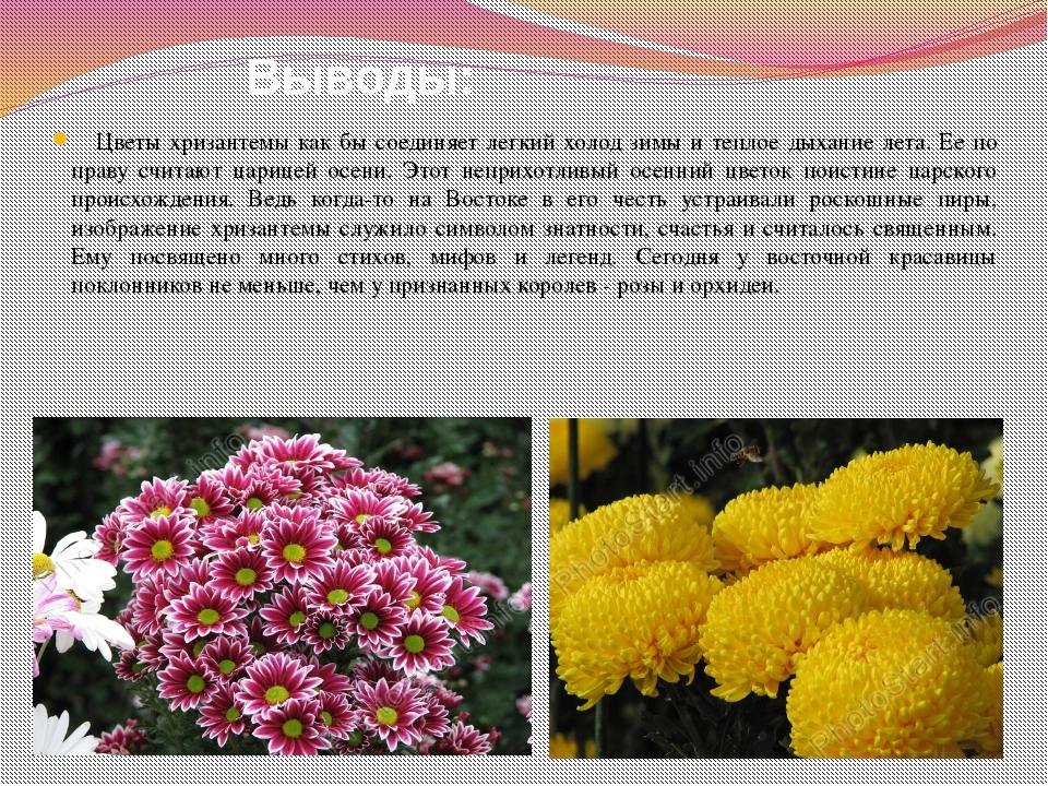 Выводы: Цветы хризантемы как бы соединяет легкий холод зимы и теплое дыхание...