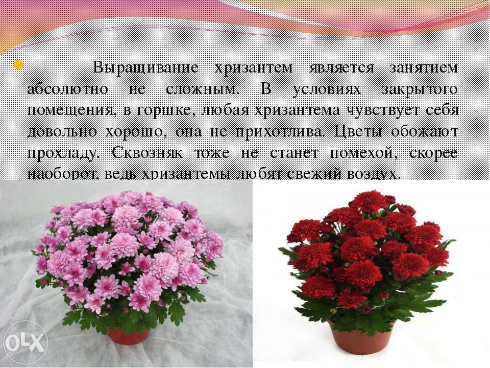 Выращивание хризантем является занятием абсолютно не сложным. В условиях зак...
