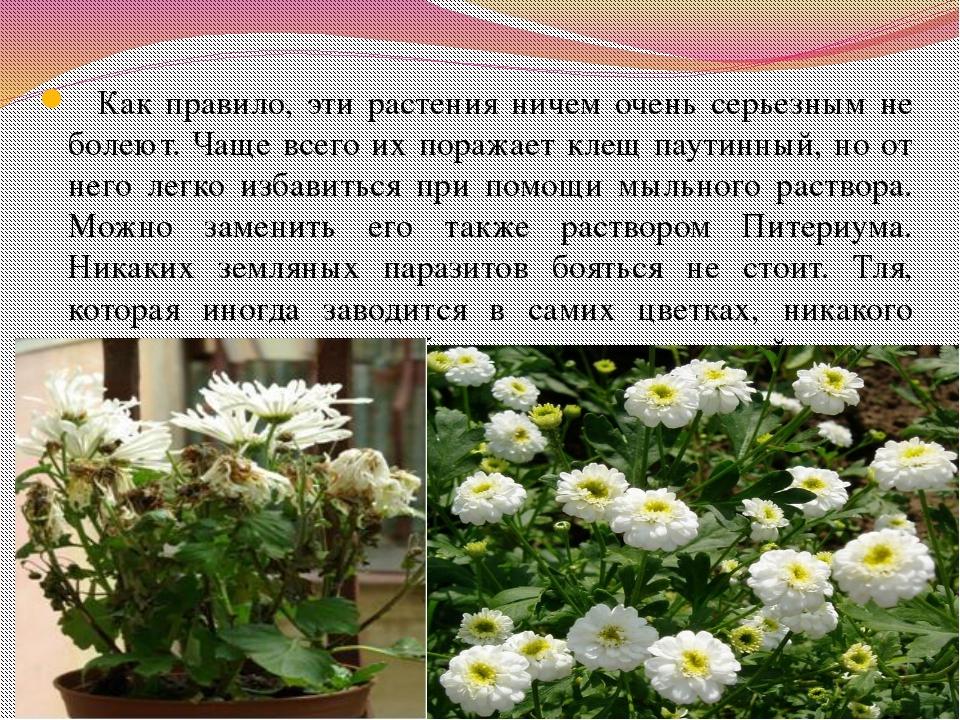 Как правило, эти растения ничем очень серьезным не болеют. Чаще всего их пор...