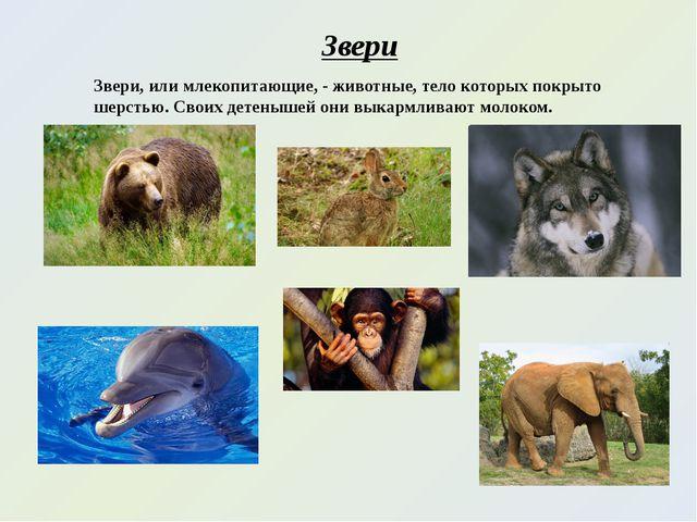 Звери Звери, или млекопитающие, - животные, тело которых покрыто шерстью. Сво...