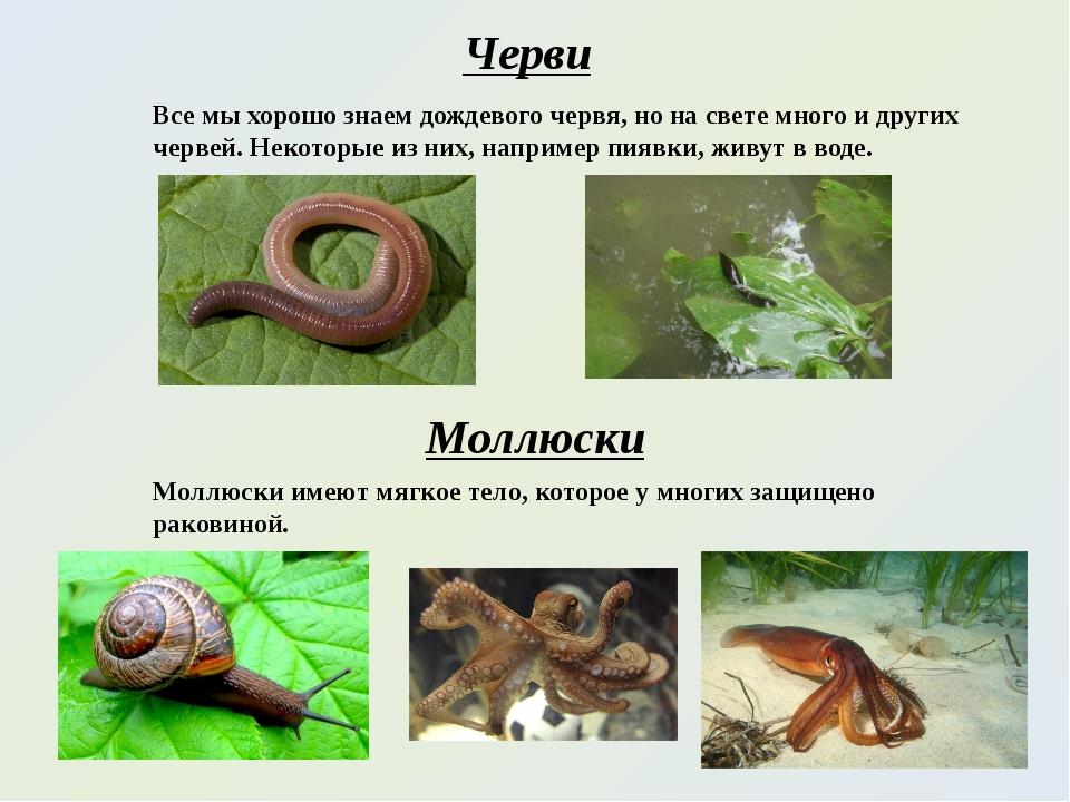 Черви Все мы хорошо знаем дождевого червя, но на свете много и других червей....