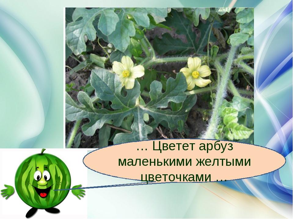 … Цветет арбуз маленькими желтыми цветочками …