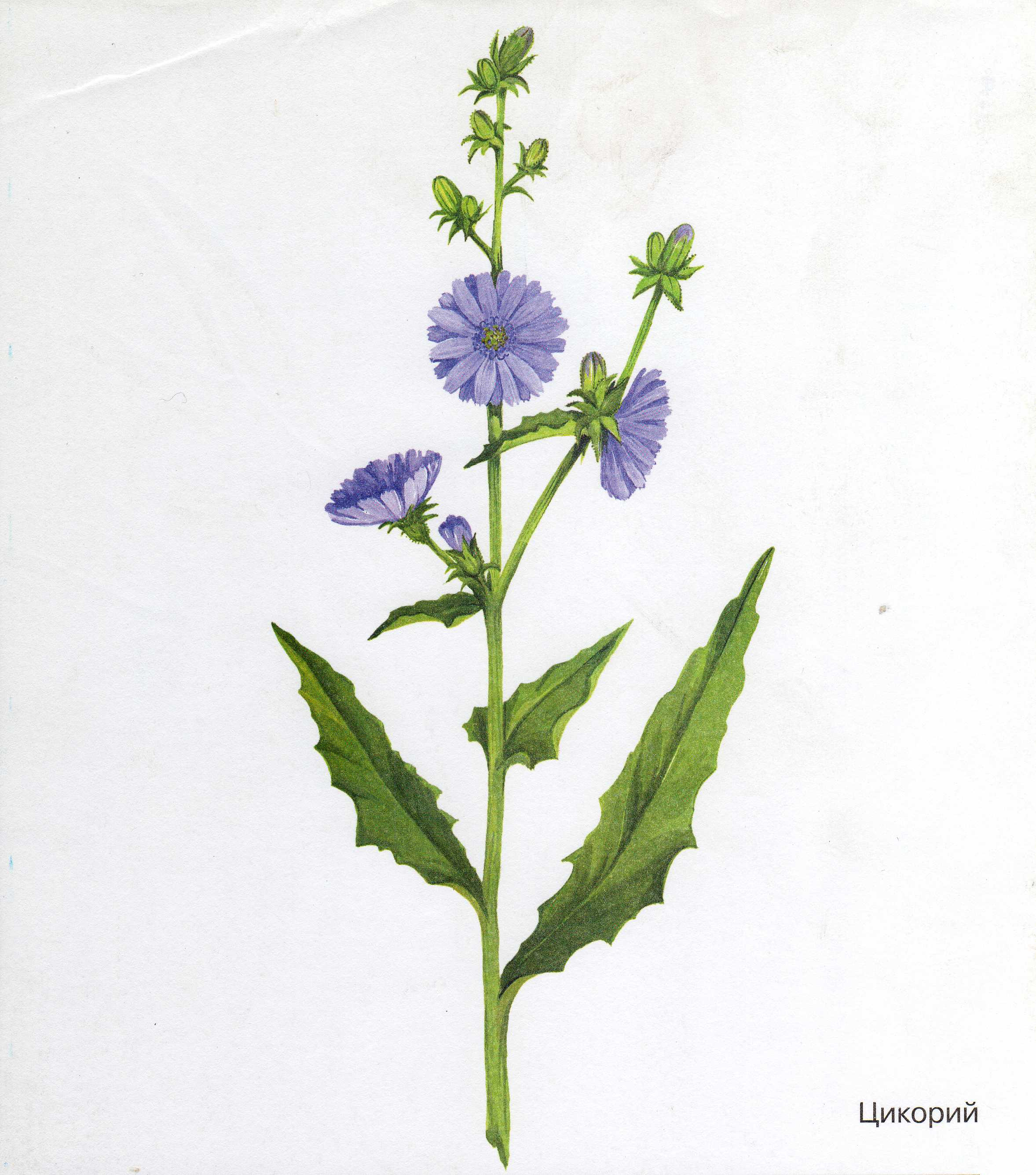 http://dasha46.narod.ru/Encyclopedic_Knowledge/Biology/Plants/Herbs/Chicory.jpg