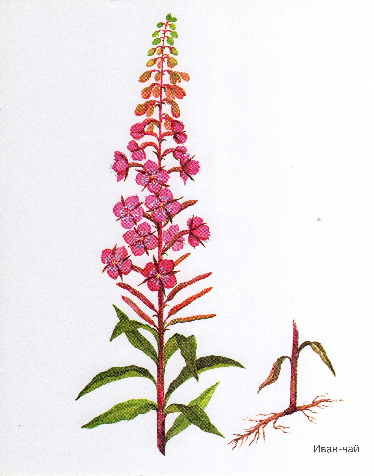 http://dasha46.narod.ru/Encyclopedic_Knowledge/Biology/Plants/Herbs/Willow-herb.jpg