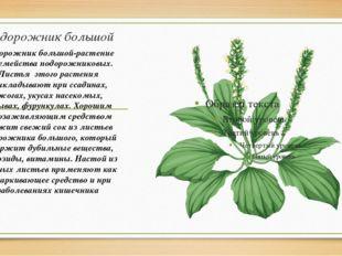 Подорожник большой Подорожник большой-растение из семейства подорожниковых. Л