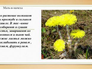Мать-и-мачеха Это растение помогает при простуде и сильном кашле. В мае –июне