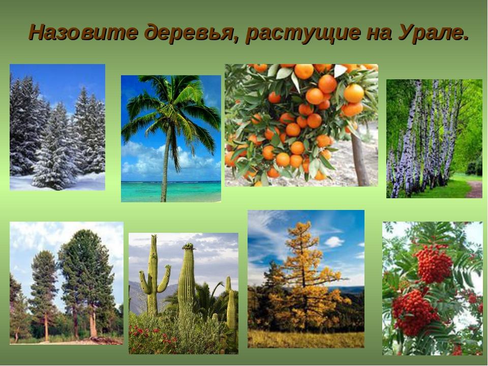 Назовите деревья, растущие на Урале.