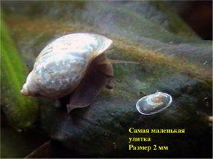 Самая маленькая улитка Размер 2 мм