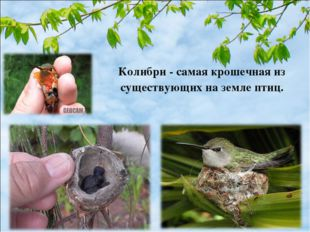 Колибри - самая крошечная из существующих на земле птиц.