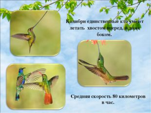 Колибри единственные кто умеют летать хвостом вперед, и даже боком. Средняя с