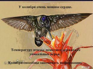 У колибри очень мощное сердце. Температуру птичке помогают держать ее уникаль