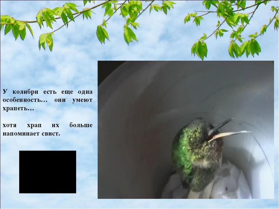 У колибри есть еще одна особенность… они умеют храпеть… хотя храп их больше н...