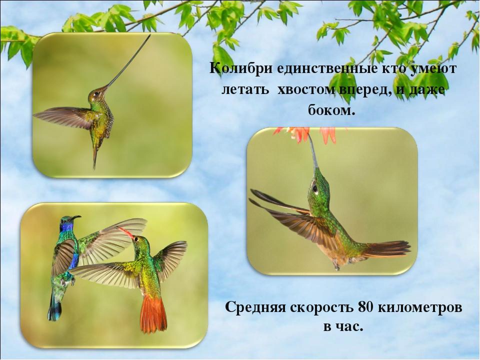 Колибри единственные кто умеют летать хвостом вперед, и даже боком. Средняя с...
