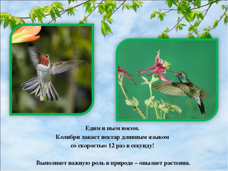 Едим и пьем носом. Колибри лакает нектар длинным языком со скоростью 12 раз в...