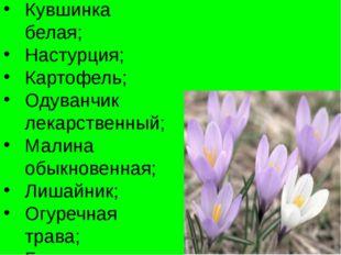 Кувшинка белая; Настурция; Картофель; Одуванчик лекарственный; Малина обыкнов