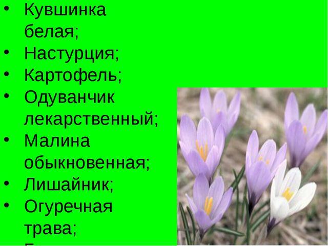 Кувшинка белая; Настурция; Картофель; Одуванчик лекарственный; Малина обыкнов...