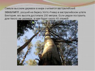 Самым высоким деревом в мире считается австралийский эвкалипт, росший на бере