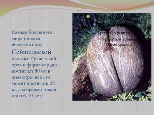 Самым большим в мире плодом является плод Сейшельской пальмы. Гигантский оре
