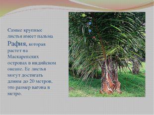 Самые крупные листья имеет пальма Рафия, которая растет на Маскаренских остр