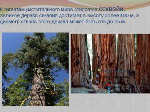 К гигантам растительного мира относятся секвойи. Хвойное дерево секвойя дости